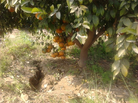 Fresh from Farm (Clicked in an orchard in the month of January'13)